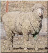 Langhus Sheep - Big Timber, Montana